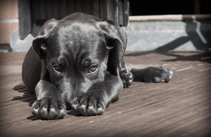 black-dog-puppy