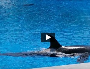 Corky the Orca's Sad Story