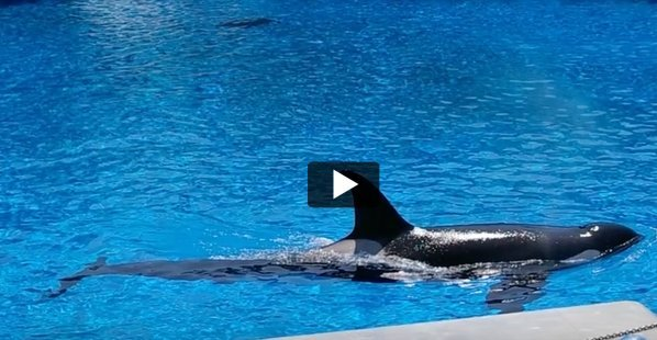 corky-the-orca-featured-image