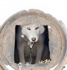 Iditarod: Racing Dogs to Death