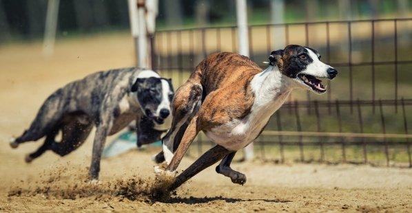 Greyhound Racing: It Needs to End NOW