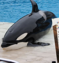 All I Want for Christmas Is Freedom for Orcas!