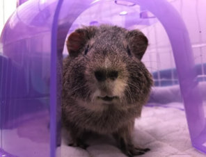 Are Guinea Pigs Good 'Starter Pets' for Kids? No.