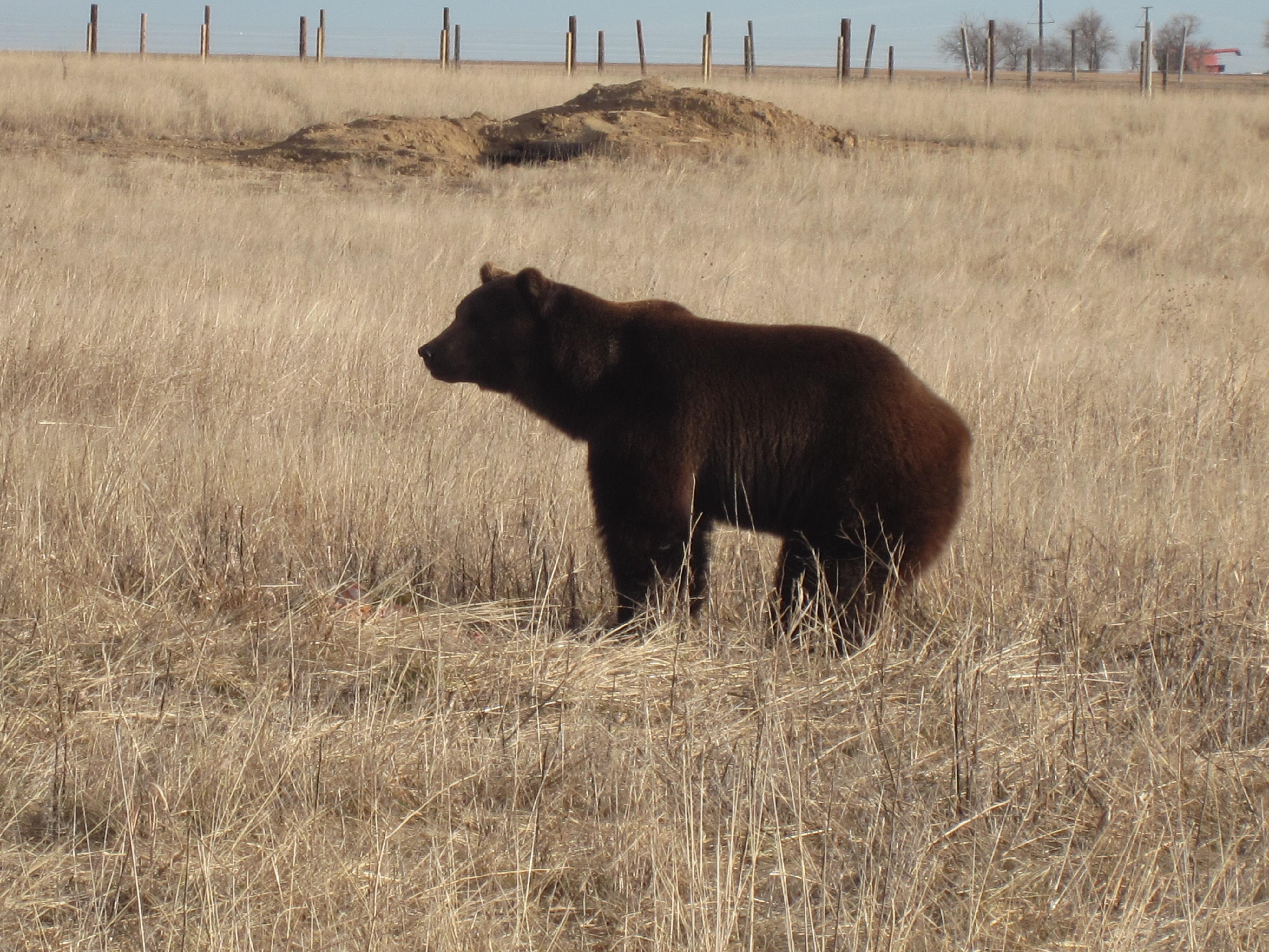 Bear Rescued From Roadside Zoo