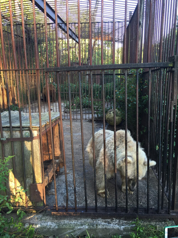 Bear stuck in a barren cage at a roadside zoo.
