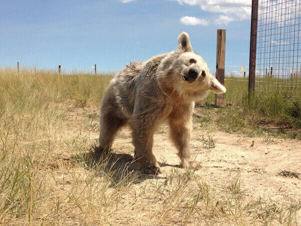 Happy bear in his or her new home at a real animal sanctuary