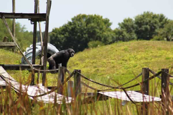 chimp playing on an outdoor activity jungle gym