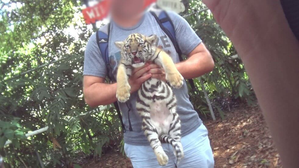 baby tiger being held