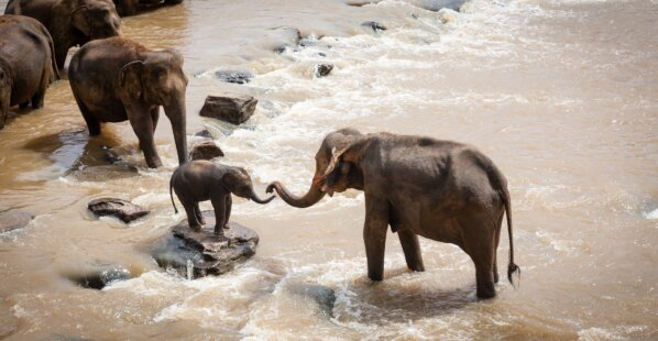 Help These Elephants Find Their Way Home