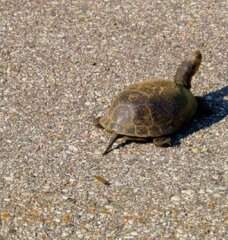 5 Steps to Help Turtles Cross the Road