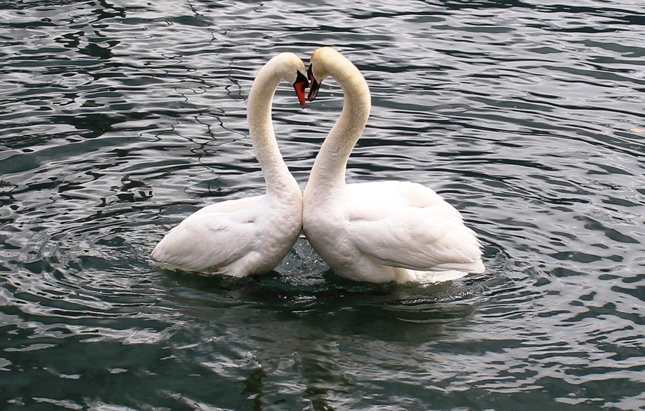 Swans at the park