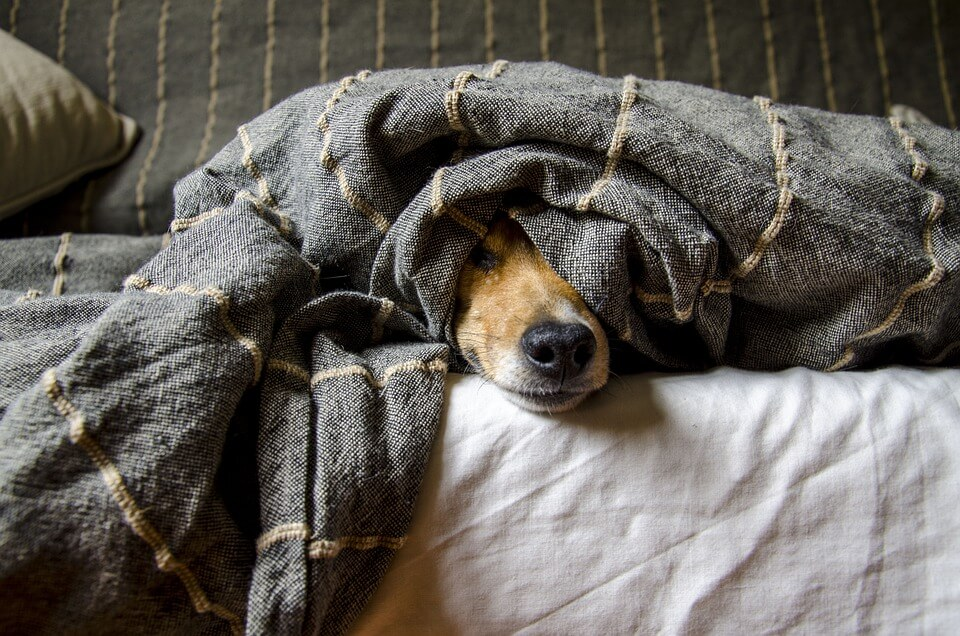 dog laying in bed under the covers