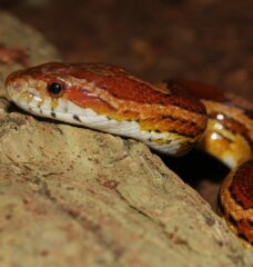 Never Buy a Corn Snake: 6 Reasons to Keep Slithering Past the Pet Store