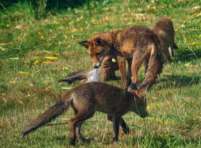 red Foxes on green grass