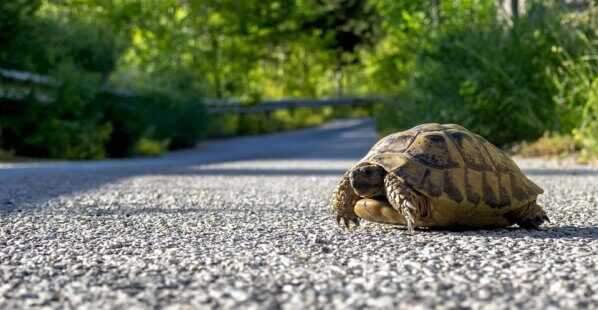 a turtle crossing a road