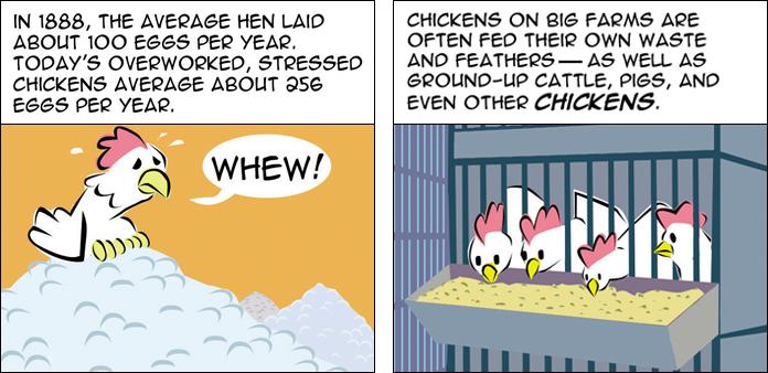 chickens-life-slide-4