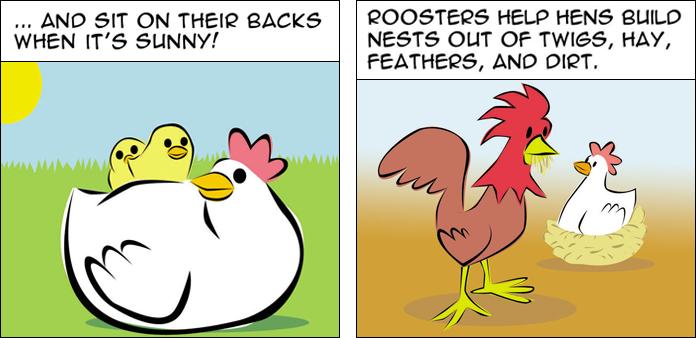 chickens-life-slide-7